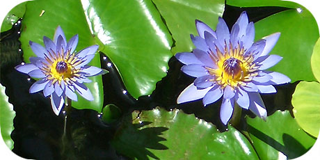 The sophisticated blue water lily - you´ll find them at the Edgewater Resort