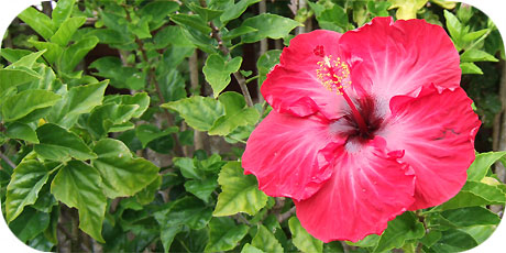 Beautiful red Hibiscus - one of the most common flowers on Rarotonga ( in latin: hibiscus rosa-sinensis cultivar - in maori : Tiare Kaute )