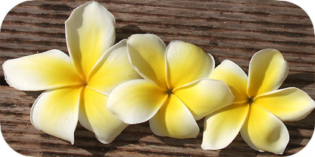 The exciting yellow Frangipani - you´ll find them on trees ( in latin: plumeria obtusa - in maori : Tiare Tipani Vai´i )