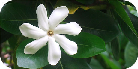 Amazing Tiare Maori - you´ll find them in bushes everywhere on Rarotonga ( in latin: gardenia teitensis - in maori : Tiare Maori )
